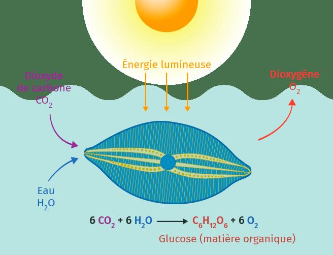 Nutrition de la diatomée (plancton marin)