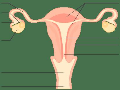 Schéma en coupe longitudinale de l'appareil reproducteur féminin (vue de face)