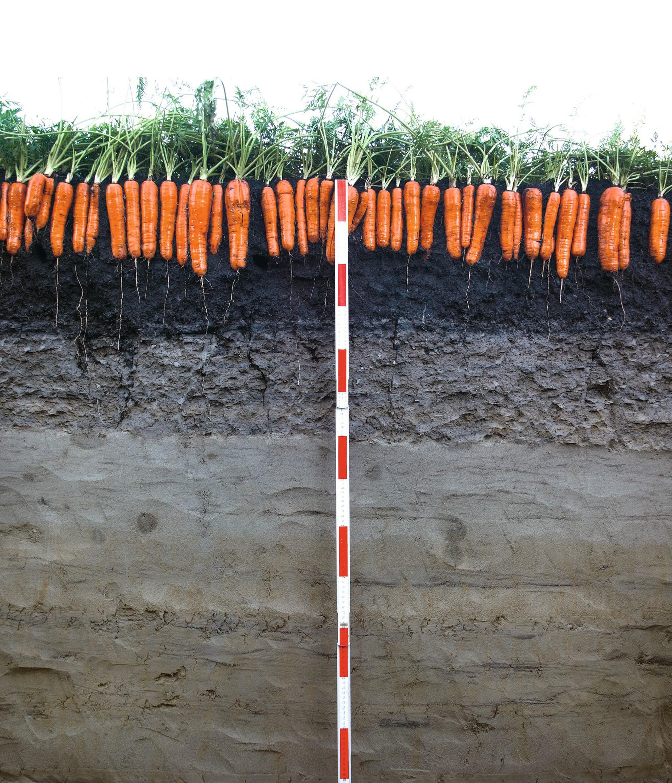 Des carottes prêtes à la récolte dans un sol de marais drainé.