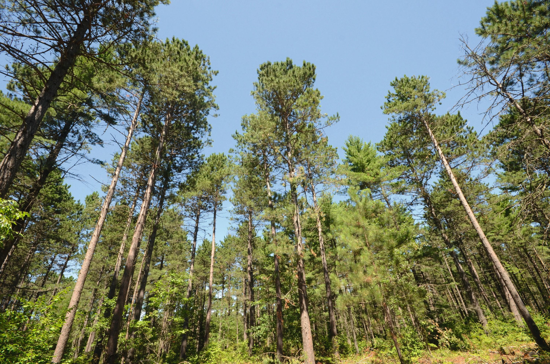 Forêt de pins en Virginie.