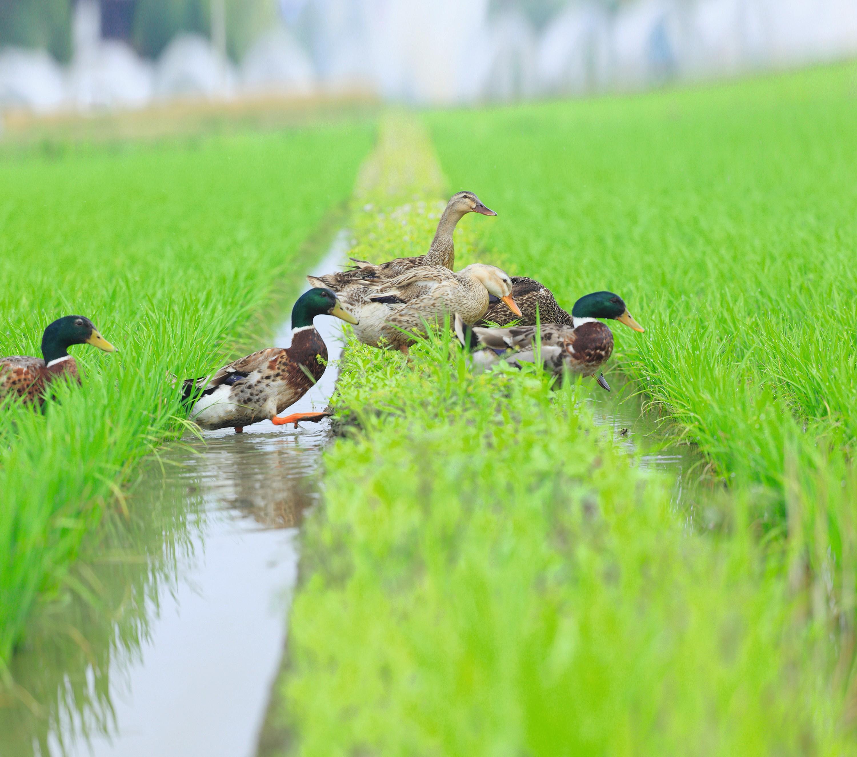 Riziculture biologique au Japon : les canards se nourrissent d'insectes et de mauvaises herbes