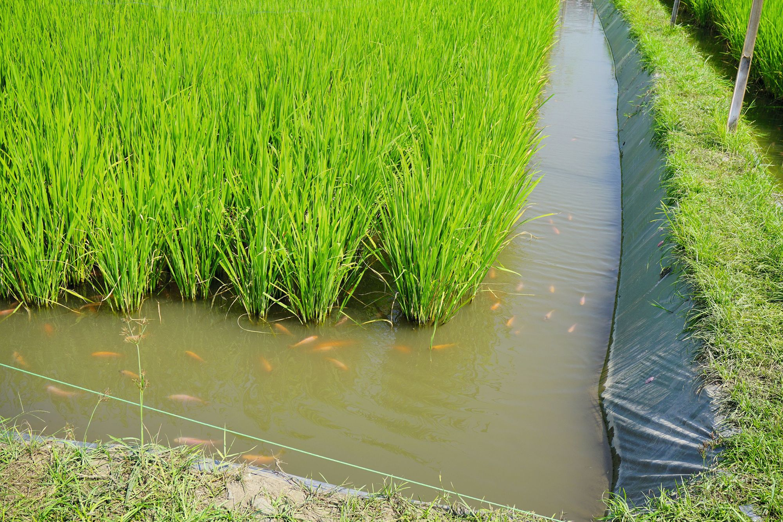 La rizipisciculture