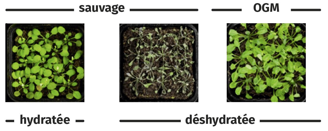 Observation des plantes sauvages ou OGM selon les conditions d'hydratation