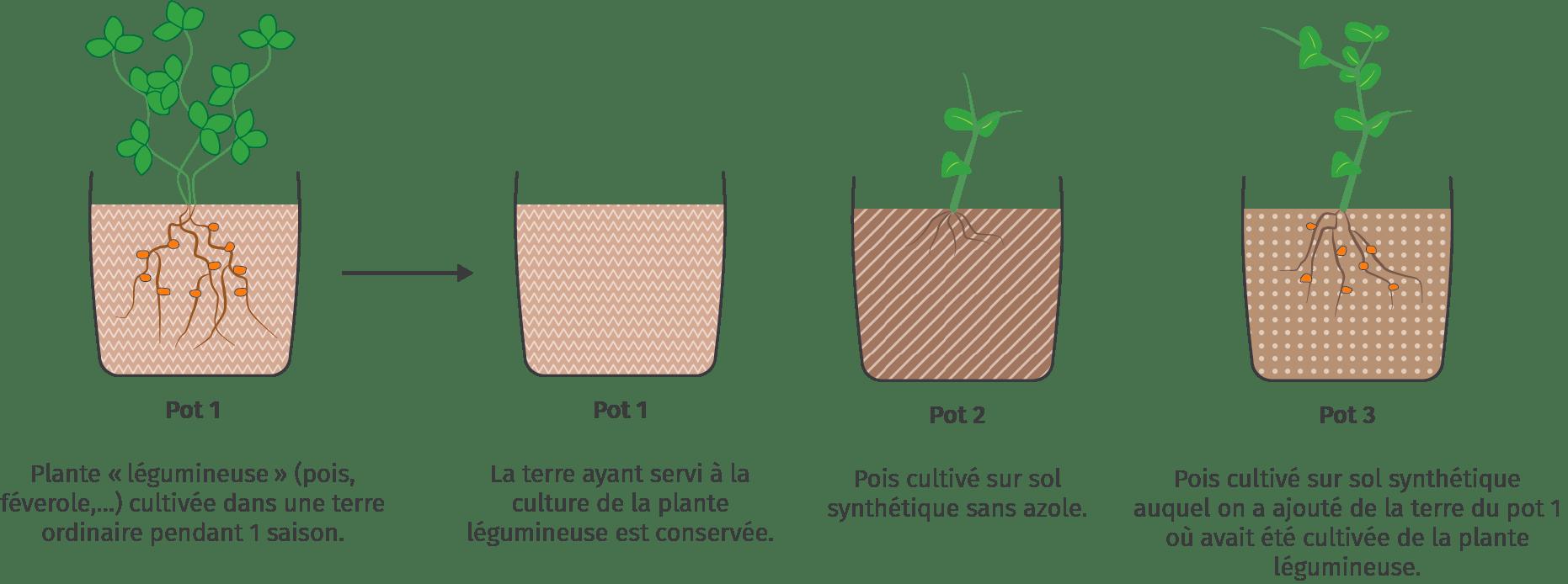 Le semis de légumineuses et l'apport en azote