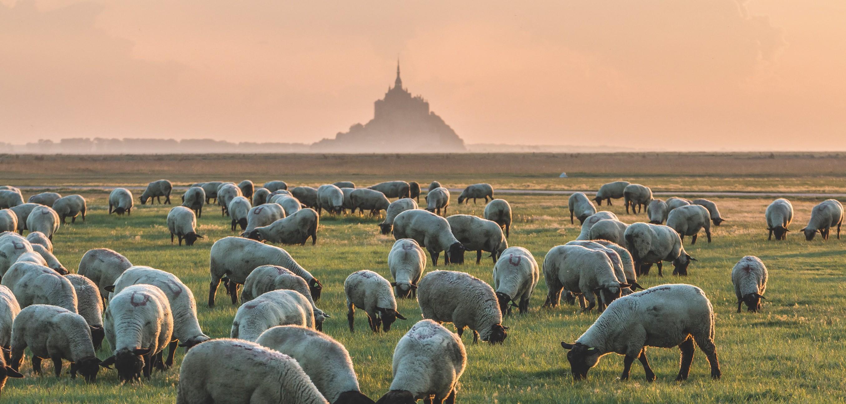 Troupeau de moutons au Mont Saint-Michel