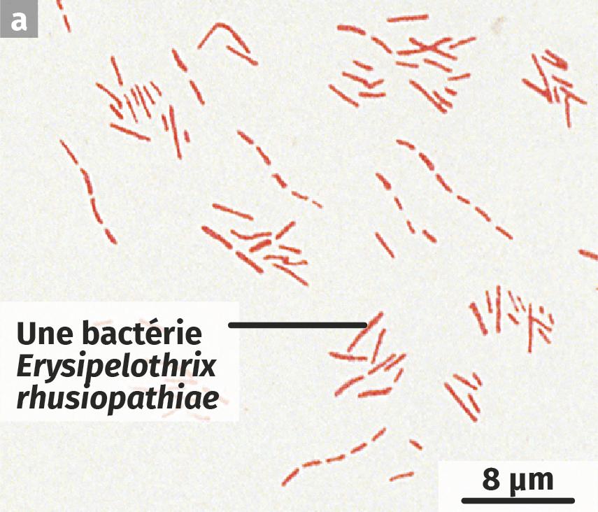 La bactérie Erysipelothrix rhusiopathiae, dessin d'observation microscopique
