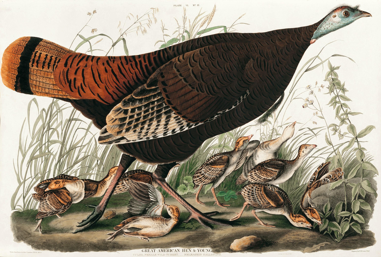 Wild Turkey,  John James  Audubon, 1826.