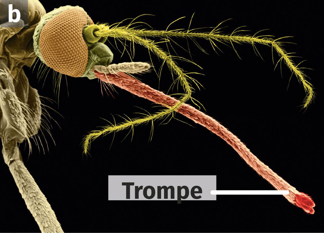 Un moustique anophèle, en MEB colorisée