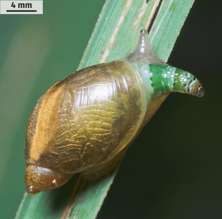 Escargot parasité par L. paradoxum