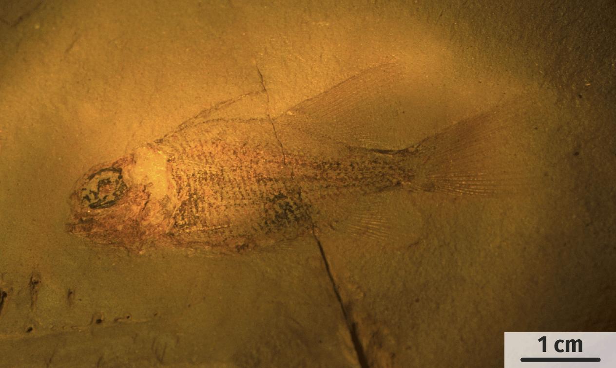 Fossile de poisson dans un grès fi n.
