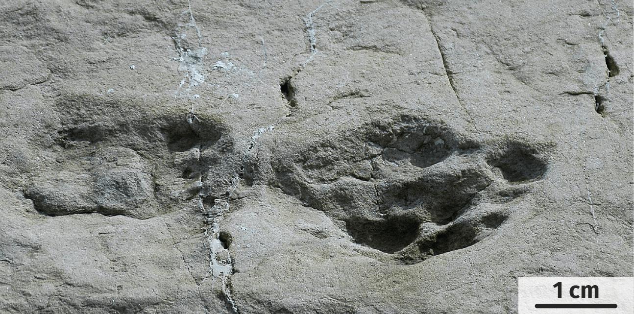 Photographie de la dalle de grès à empreinte de dinosaure.