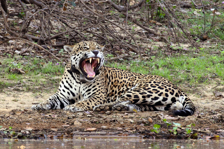La diversité génétique du jaguar.