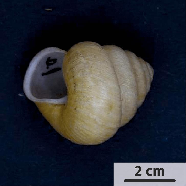 Le polymorphisme de la coquille chez les espèces d'escargots du genre Satsuma.