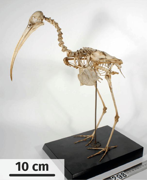 squelette d'ibis sacré actuel
