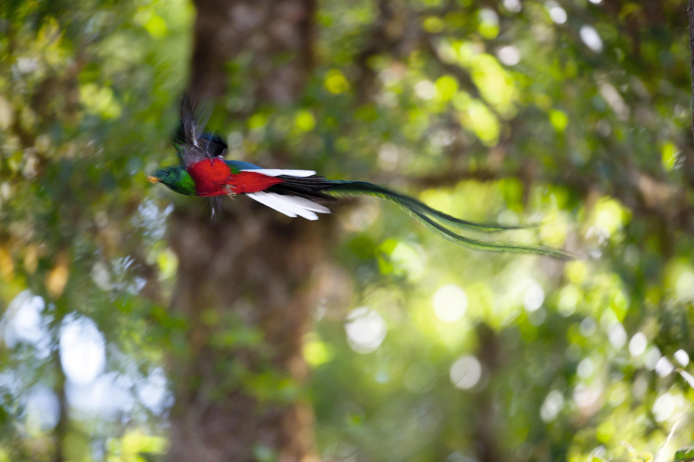 La queue du quetzal mâle (Trogonidés).
