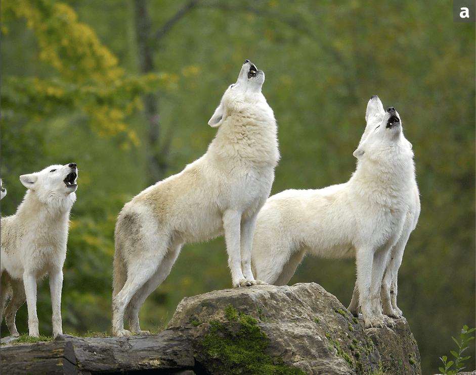 Une meute de loups de Sibérie hurlant ensemble.