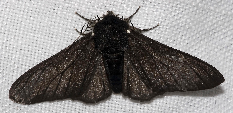 phalène du bouleau noir