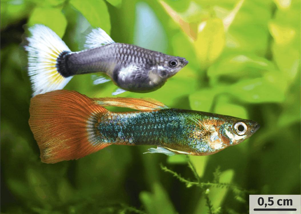 Le guppy de la Trinité, petit poisson présentant un dimorphisme sexuel de couleurs.