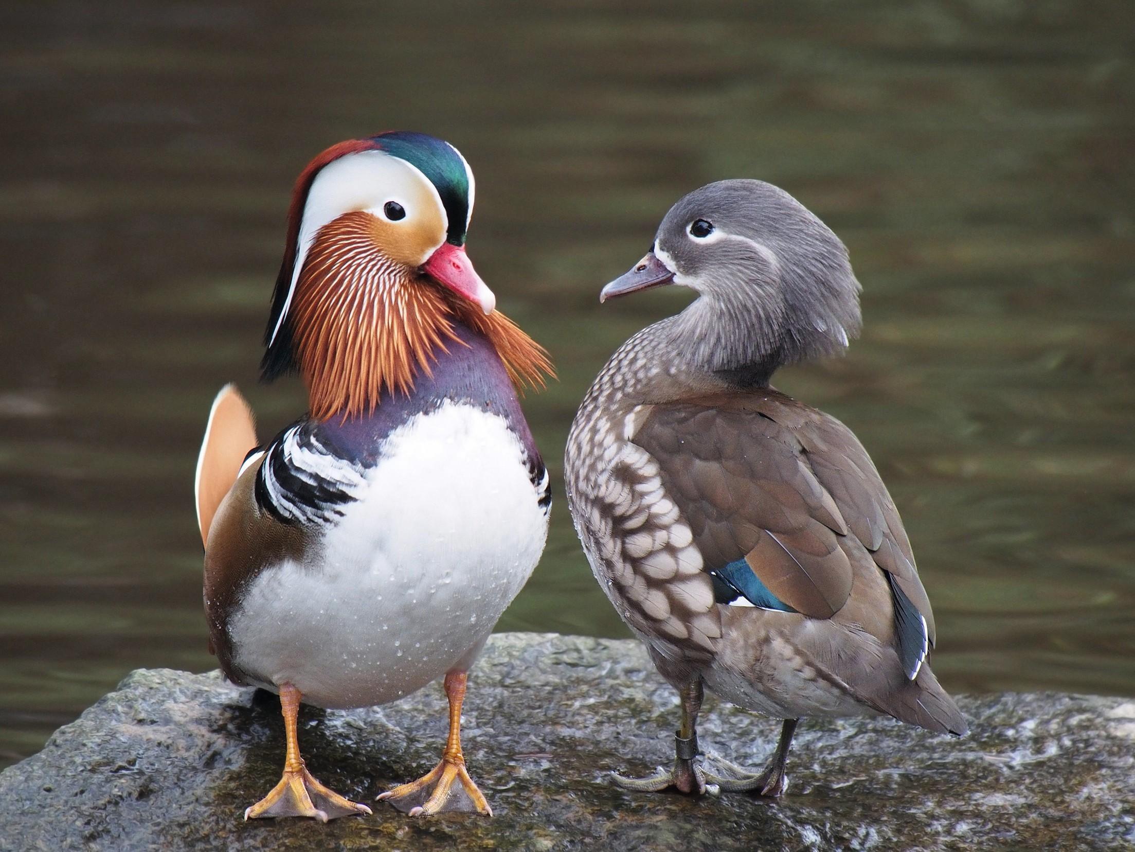 Canards mandarins mâle (à gauche) et femelle (à droite).