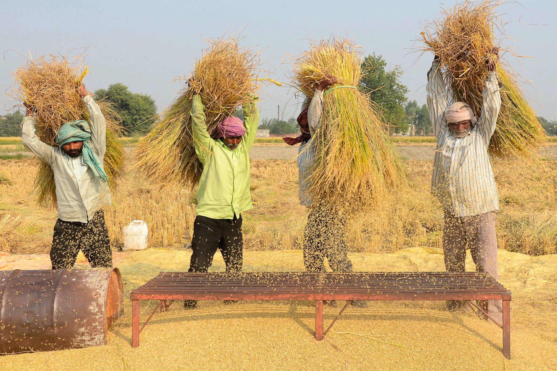Des travailleurs agricoles battent le riz, près d'Amritsar, au Punjab (octobre 2018).