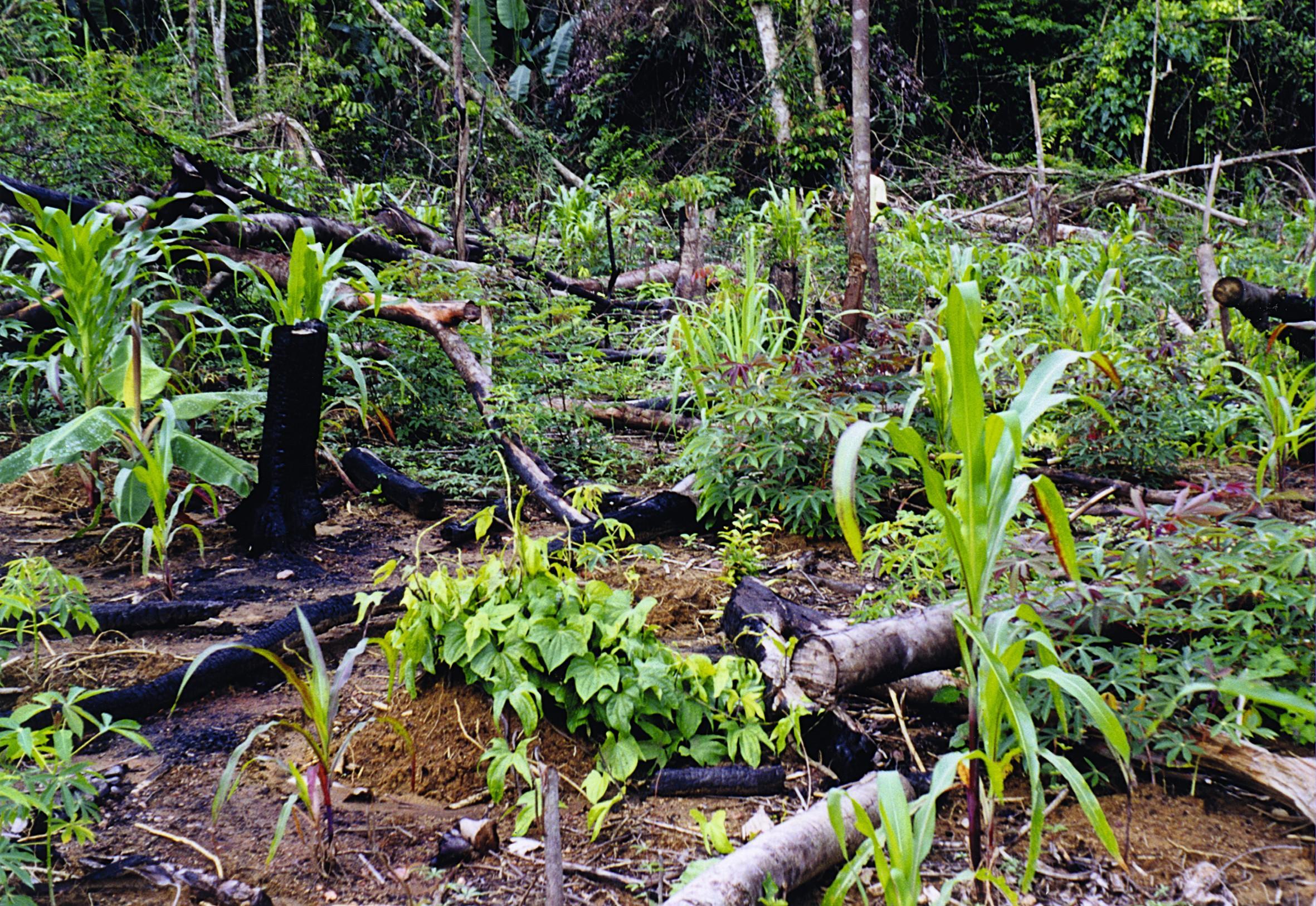L'agriculture itinérante sur brûlis en Guyane.