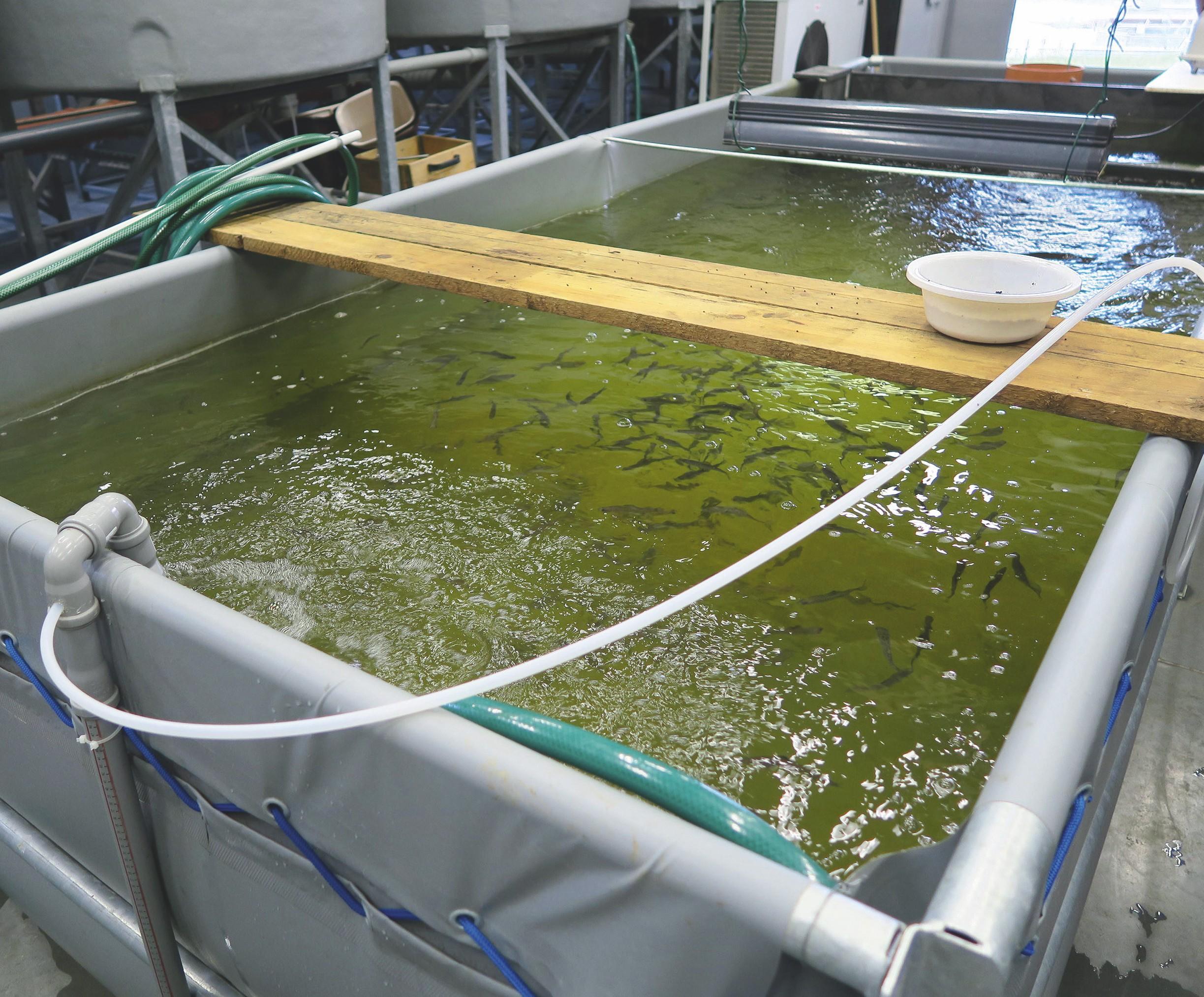 Aquaculture intensive de truites.