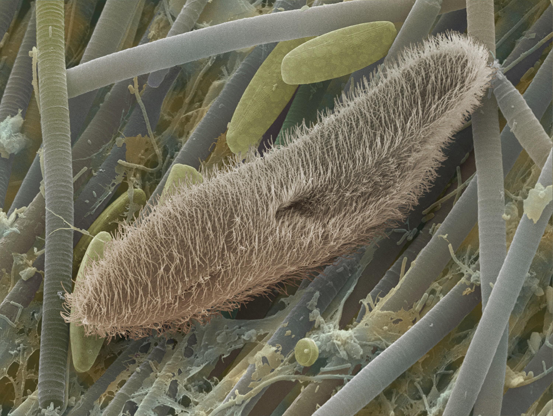 La paramécie, un unicellulaire cilié