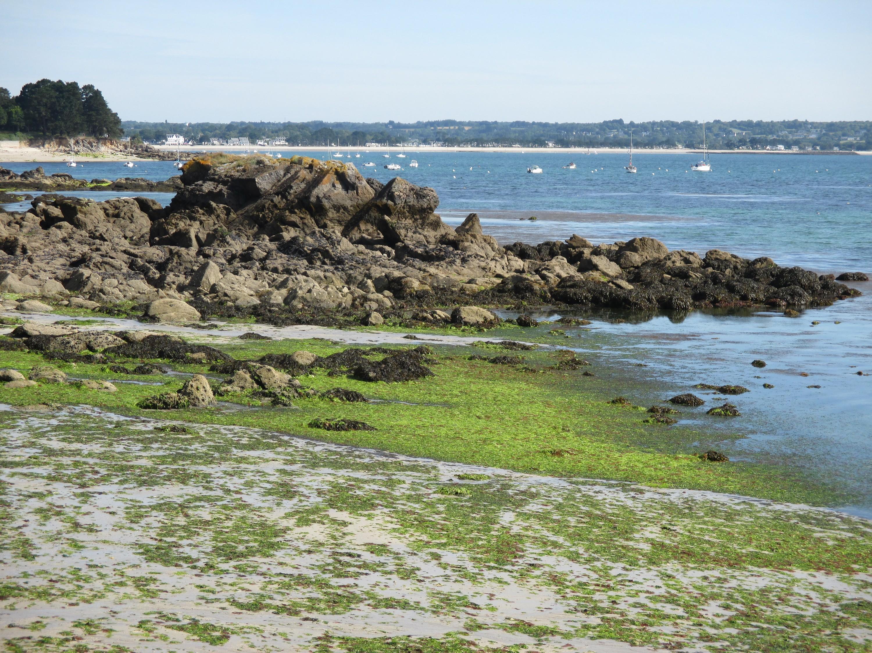 Plage recouverte d'algues vertes en Bretagne